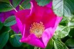 Rose Blossom Jelly