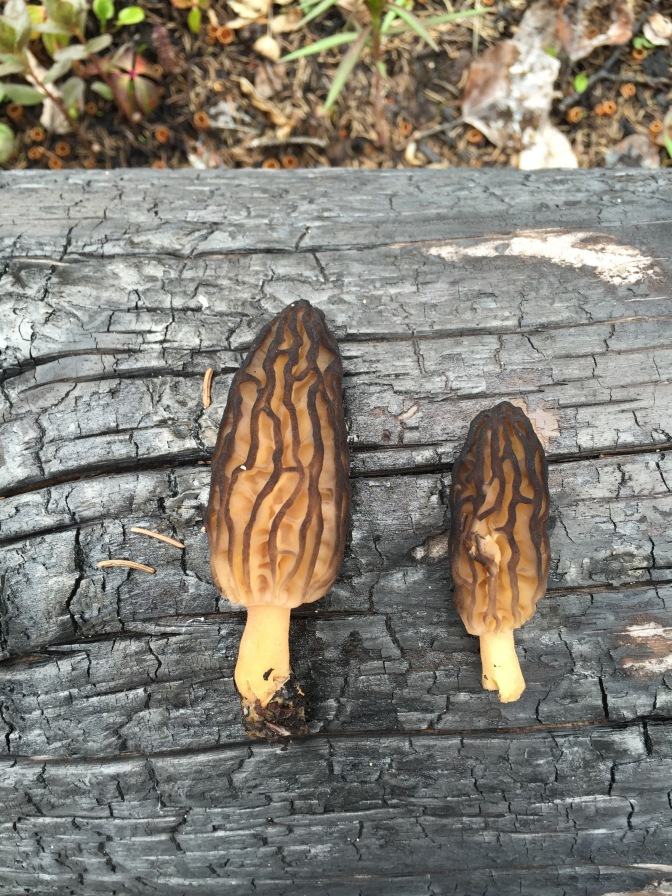 Harvesting Alaska: Morel Mushrooms on Funny River Road