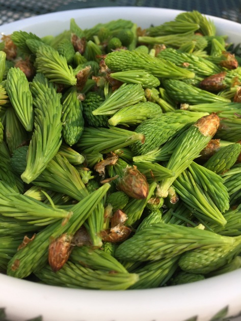 Harvesting Anchorage: Spruce tips | Alaskaknitnat.com