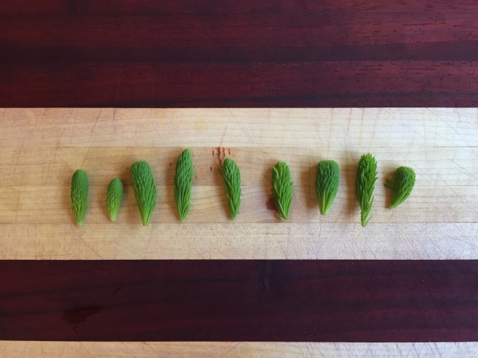 Harvesting Anchorage: Spruce tips