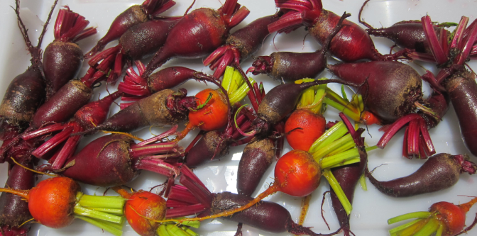 Harvesting Anchorage: Pickling and canning beets in Alaska | A great step-by-step tutorial by the Alaska Urban Soil Project