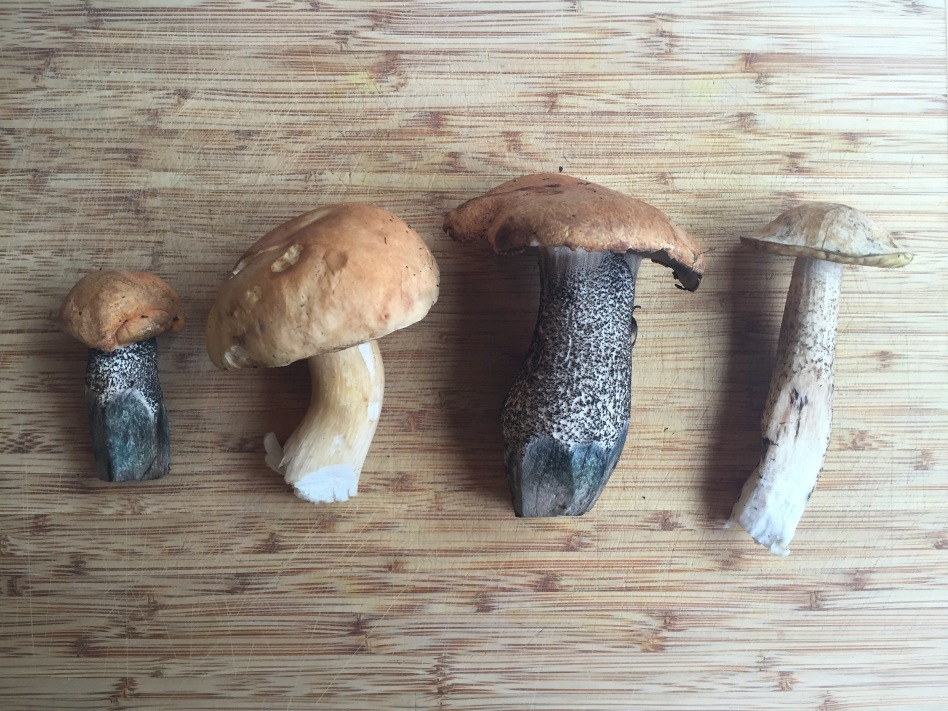 Wild porcini mushrooms found in my yard in Anchorage, Alaska