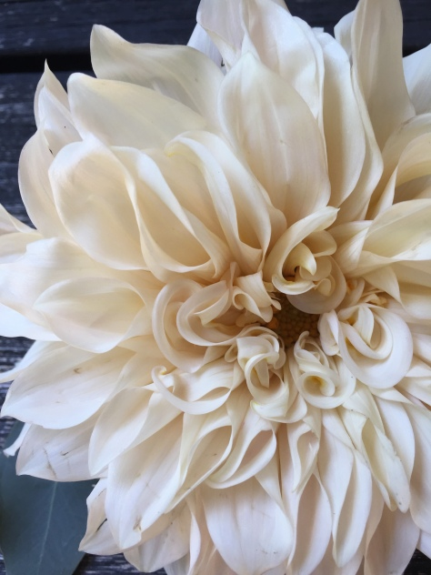 Cafe au lait dahlia - the most sought-after wedding flower of the past two summers